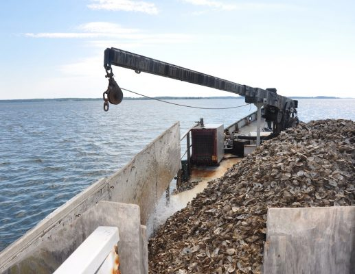 Oyster Restoration Planting
